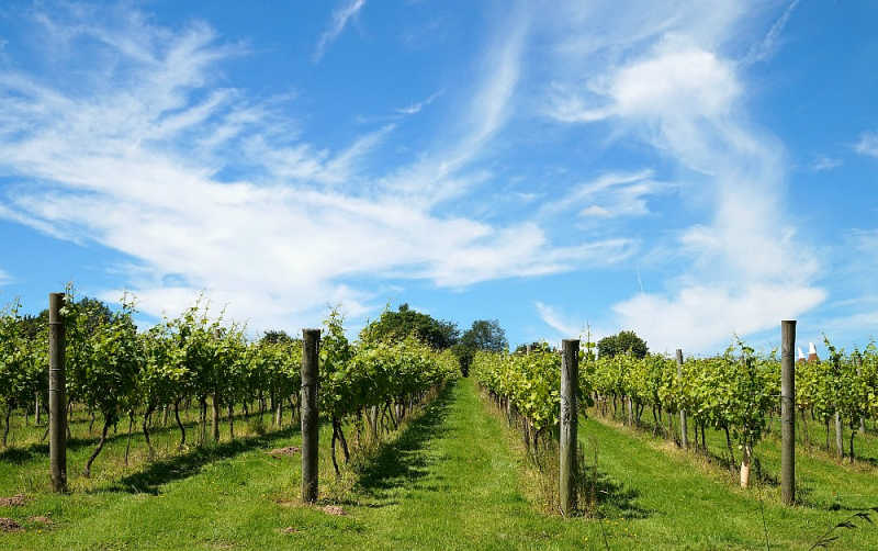 Blue sky and green vineyards.