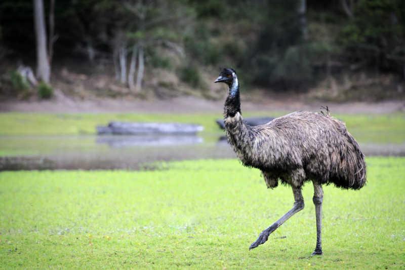 Emu walking at Serendip Sanctuary