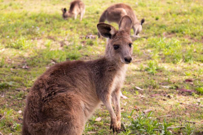 Kangaroo at Serendip Sanctuary Geelong