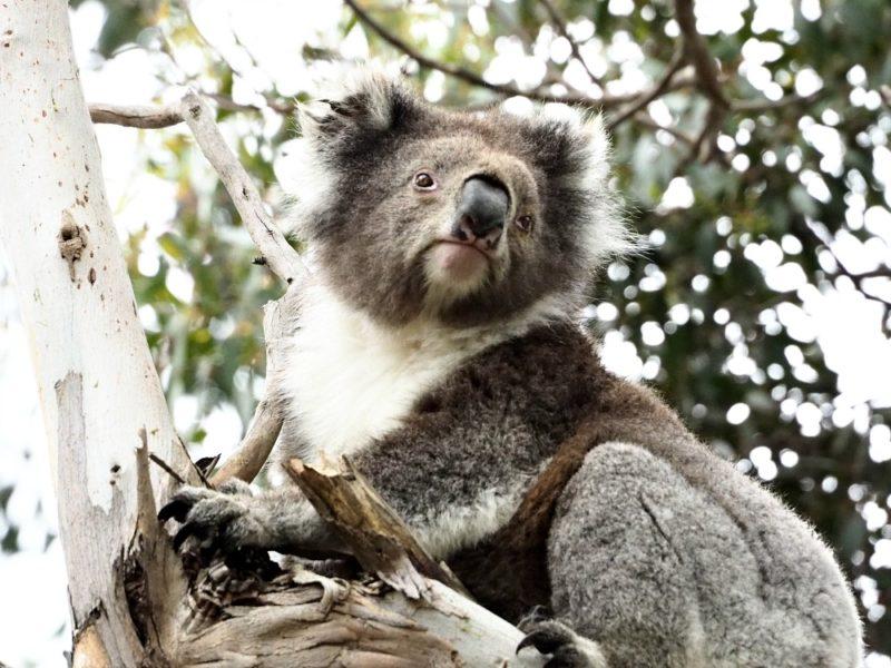 Jirrahlinga : Koala