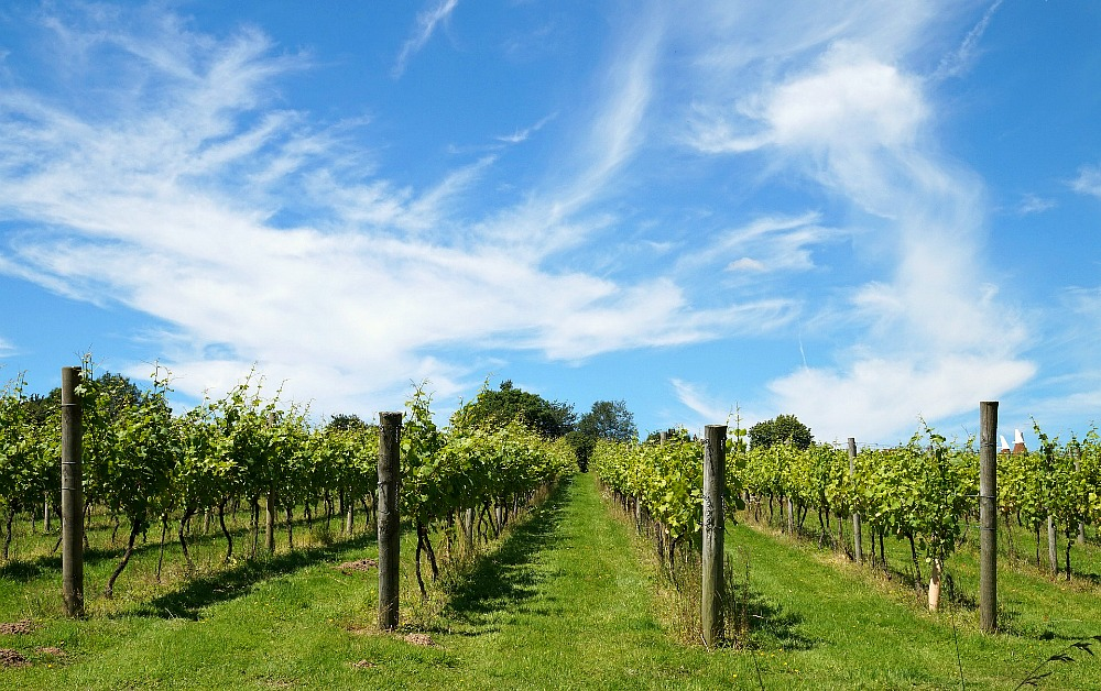 Picture of Bellarine wineries vineyard
